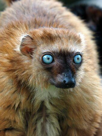 blue eye: Blue eyed lemur