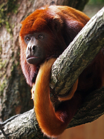 붉은 고함 원숭이 스톡 콘텐츠 - 43661622