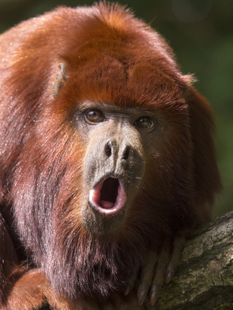 짖는 원숭이 스톡 콘텐츠
