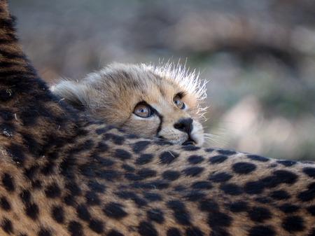 Cheetah cub 写真素材