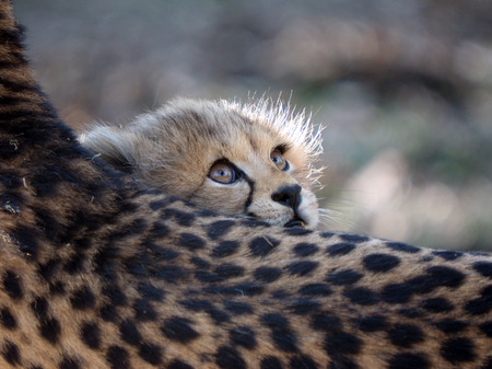 Cheetah cub 스톡 콘텐츠
