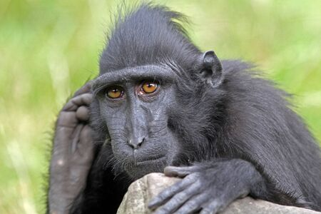 macaque: Crested Macaque Stock Photo