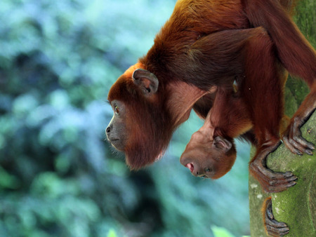 howler: Red howler monkey mother with baby Stock Photo