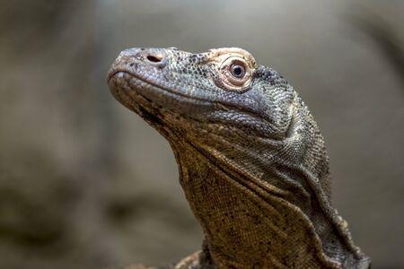 varanus: Varanus komodoensis