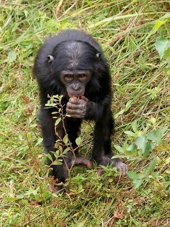 bonobo: bonobo Foto de archivo