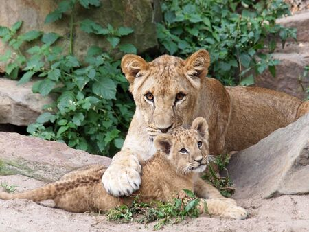 cub: Lioness playing with cub Stock Photo