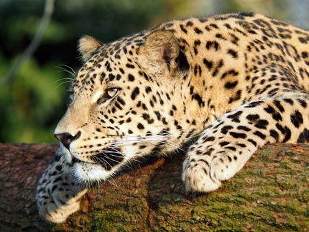 panthera onca: Panthera onca