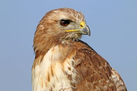redtail: Red-tailed hawk Stock Photo