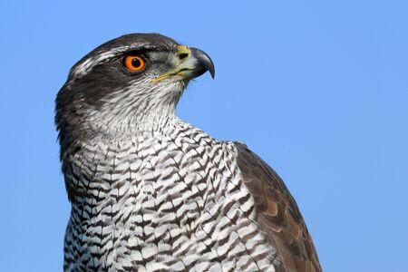 bird eating raptors: Northern goshawk Stock Photo