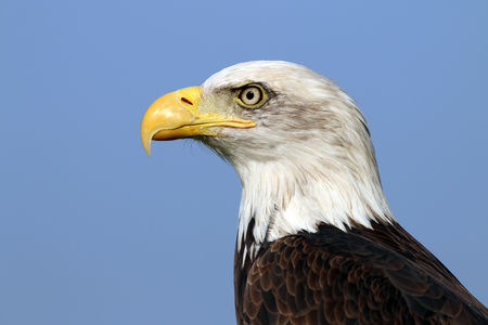 us flag: sea eagle