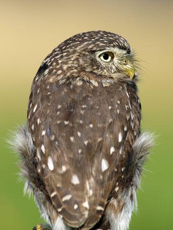 ferruginous: Ferruginous pygmy owl