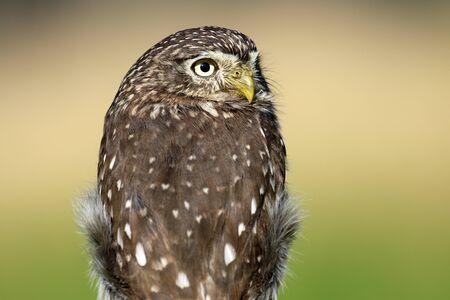 pigmy: Ferruginous pygmy owl