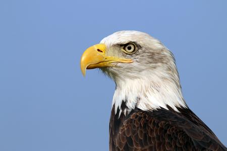 black flag: sea eagle