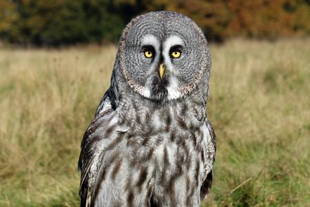 observant: Great gray owl portrait