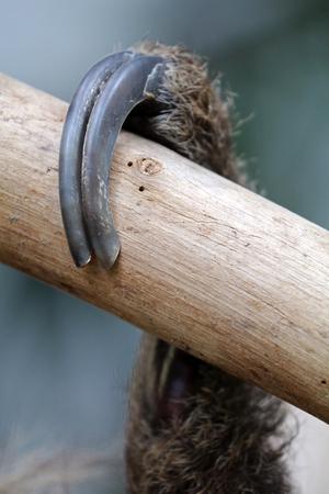 oso perezoso: garra de la pereza