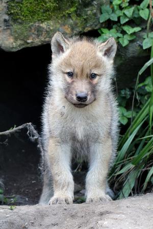 Wolf pup Foto de archivo