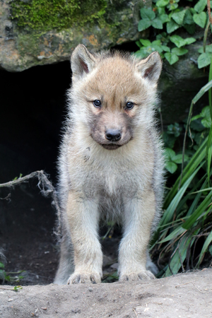 Wolf pup Imagens