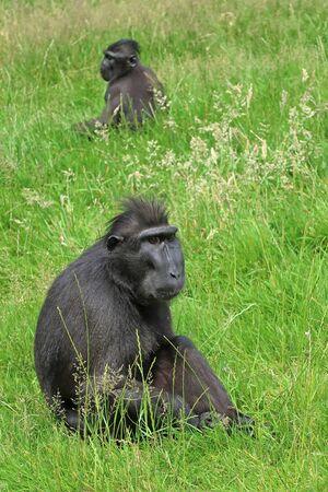 adult indonesia: Rare Crested monkey Stock Photo