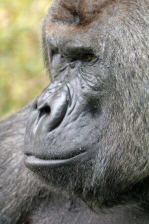 silverback: Silverback gorilla face