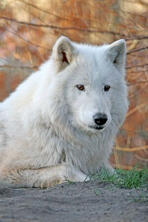howl: Howling white wolf
