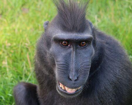 Rare Crested monkey Standard-Bild