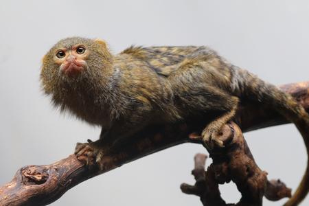 marmoset: Pygmee monkey