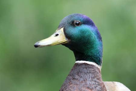 pato real: Pato Mallard