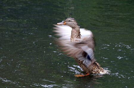 color image mallard duck: Female duck in the water Stock Photo