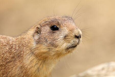 prairie dog: Prairie dog