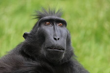 Rare Crested monkey Stock Photo