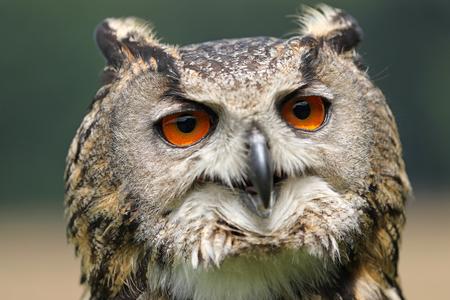 Eurasian eagle-owl close up background. Reklamní fotografie