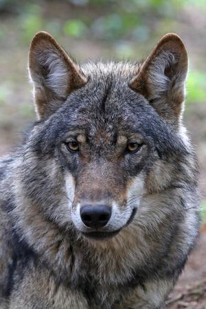 Eurasian wolf close up background. Stock Photo - 83563949