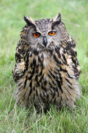 Eurasian eagle-owl Reklamní fotografie
