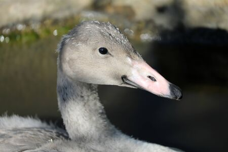 Young trumpet swan