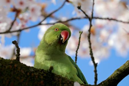 Rose-ringed parakeet 写真素材