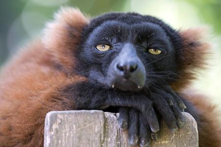 붉은 여우 원숭이 스톡 콘텐츠