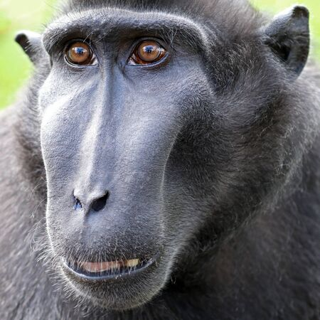 Crested macaque close up. Stock Photo