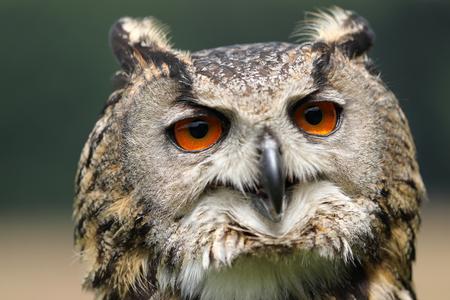 Eurasian eagle-owl close up. Stock Photo