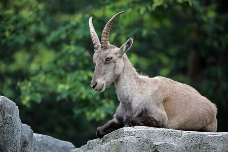 Alpine ibex close up background.