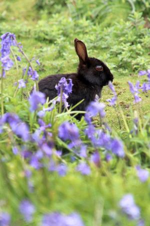Black Rabbit at Skomer Island