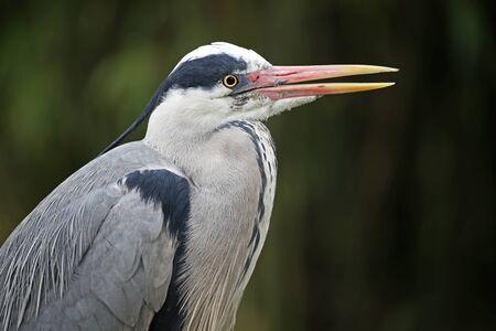 herodias: Blue Heron Stock Photo