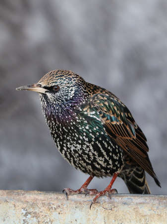 europeans: starling Stock Photo