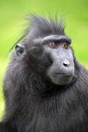 Crested macaque Stock Photo