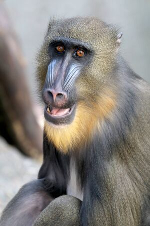 primates: Mandrill
