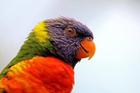 Rainbow lorikeet Reklamní fotografie