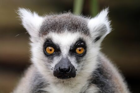 black and white: Ring-tailed lemur Stock Photo