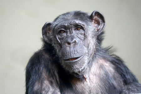 Female chimpanzee portrait Stockfoto