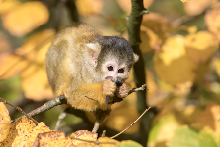 Squirrel monkey with autumn colored background
