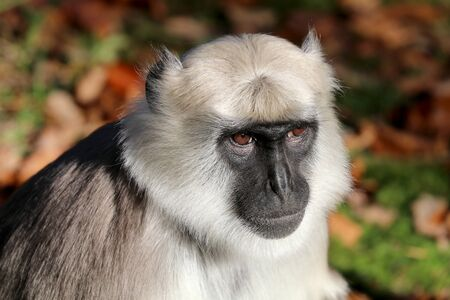 Northern plains gray langur Stock Photo