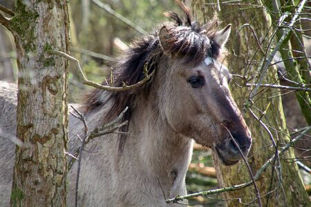 Konik horse Stock Photo